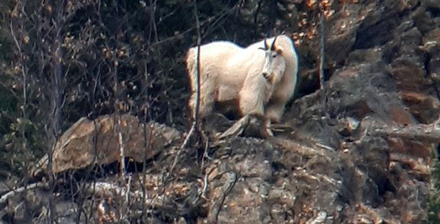 Hunting Mountain Goat in BC Canada
