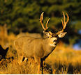 Whitetail and Mule Deer Hunting