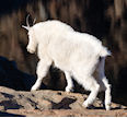Hunt for Mountain Goat